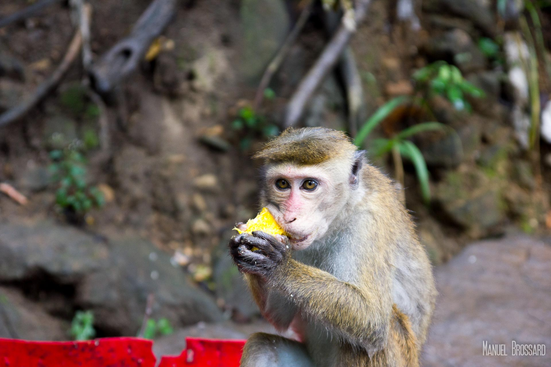 Un macaque mange un fruit en bordure de route